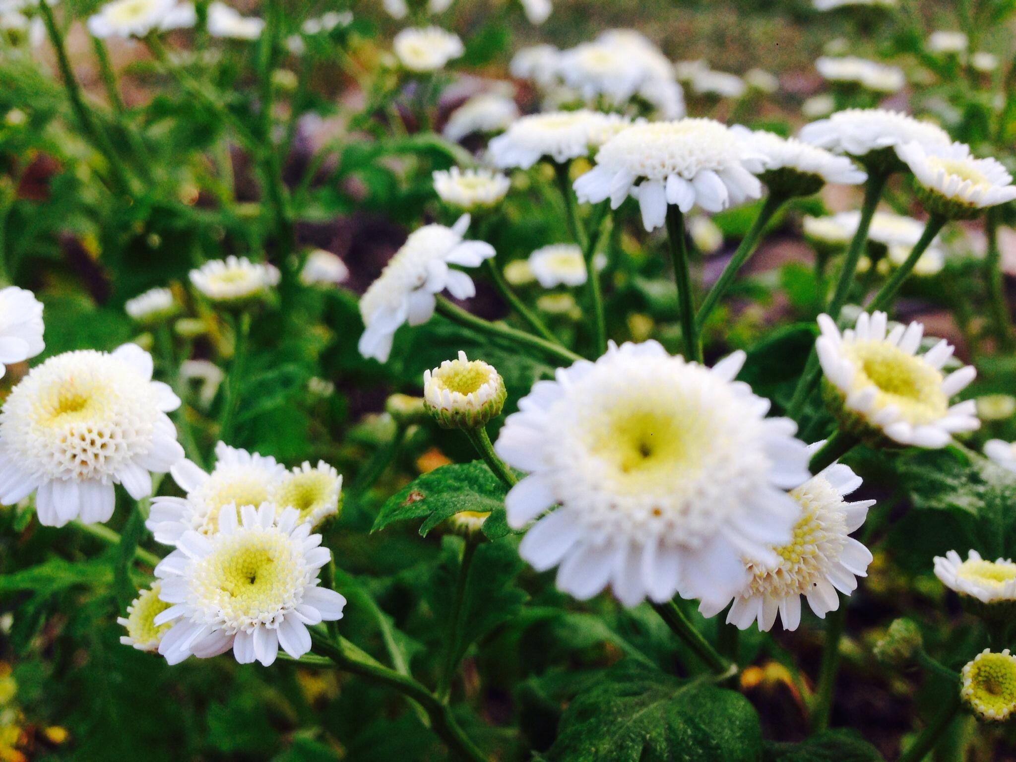 матрикария фото цветы девушка закончила
