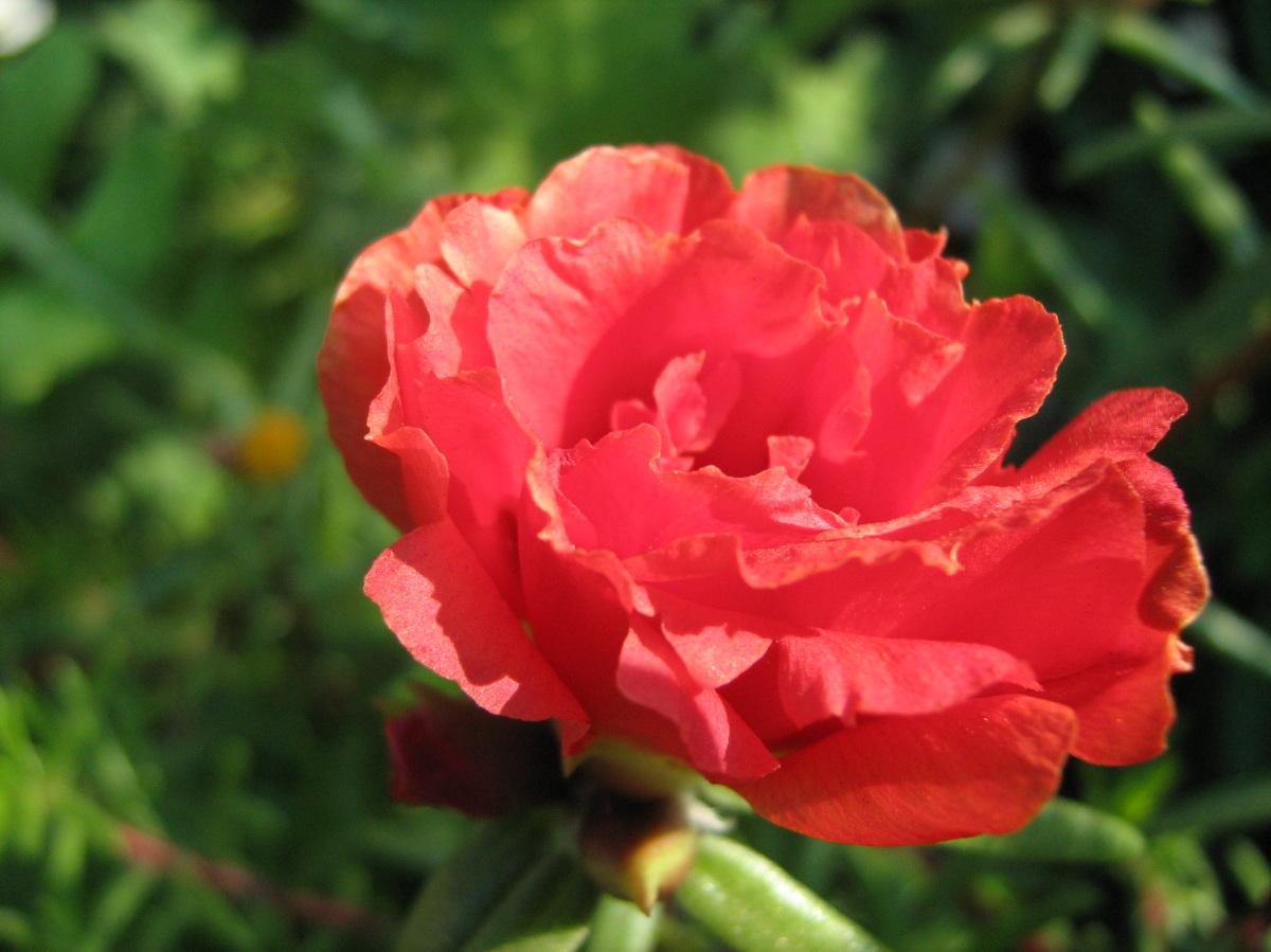 Портулак цветы в саду 73