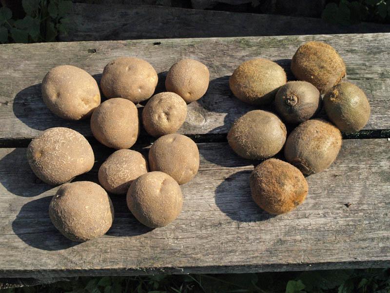 картофель сорт Киви и фрукт  киви