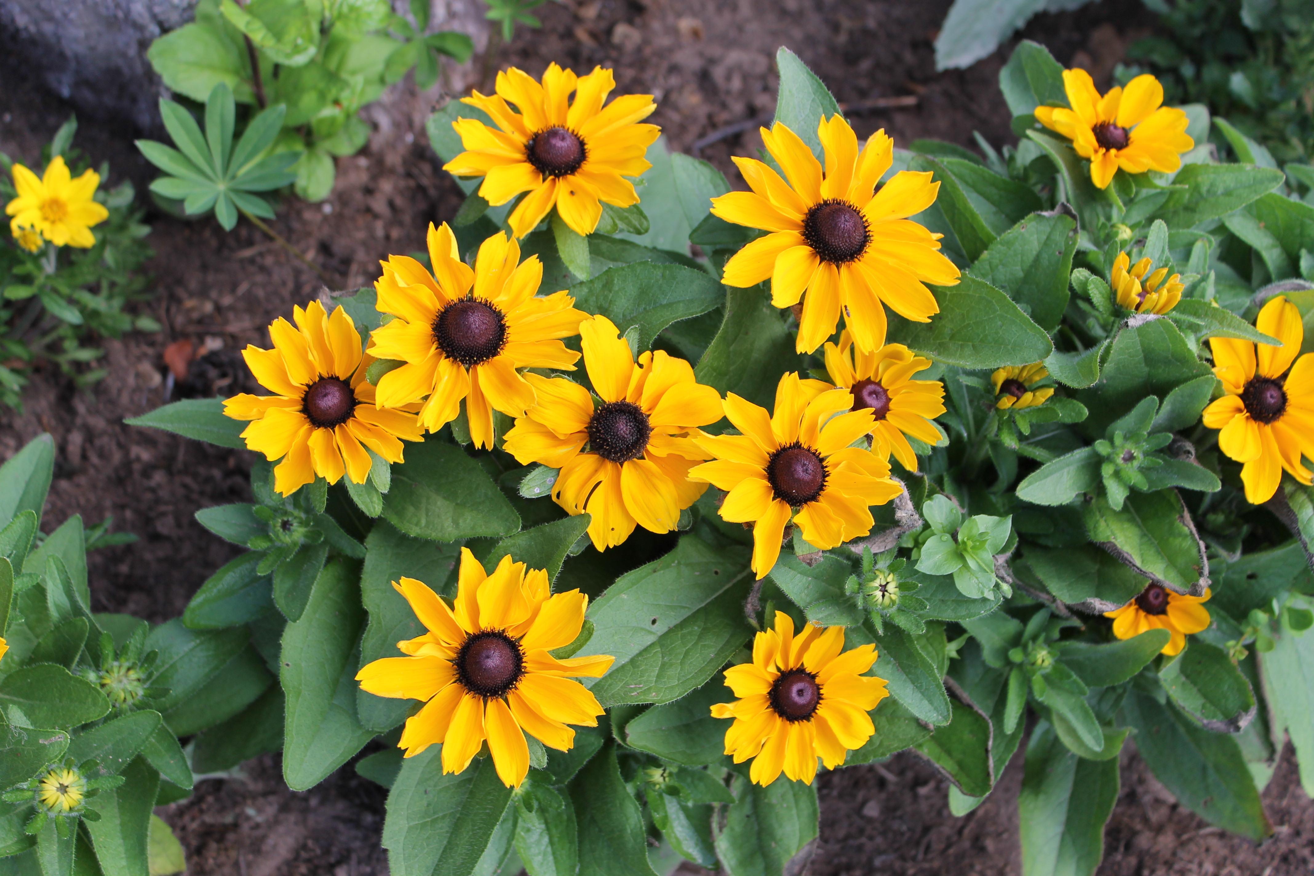 Фото цветка рудбекия мирабилис сказала что