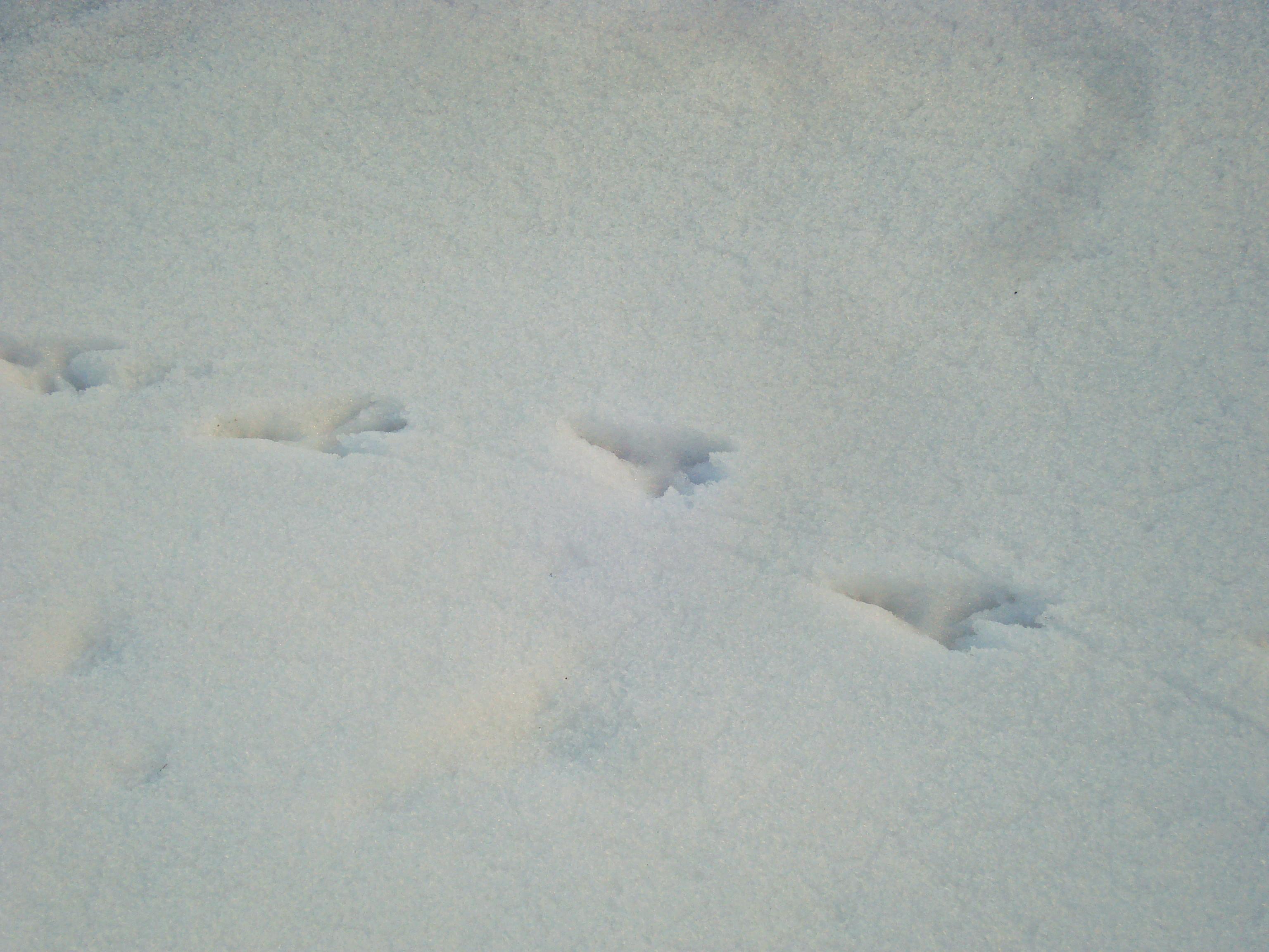 как сходный следы белки на снегу фото орешка для