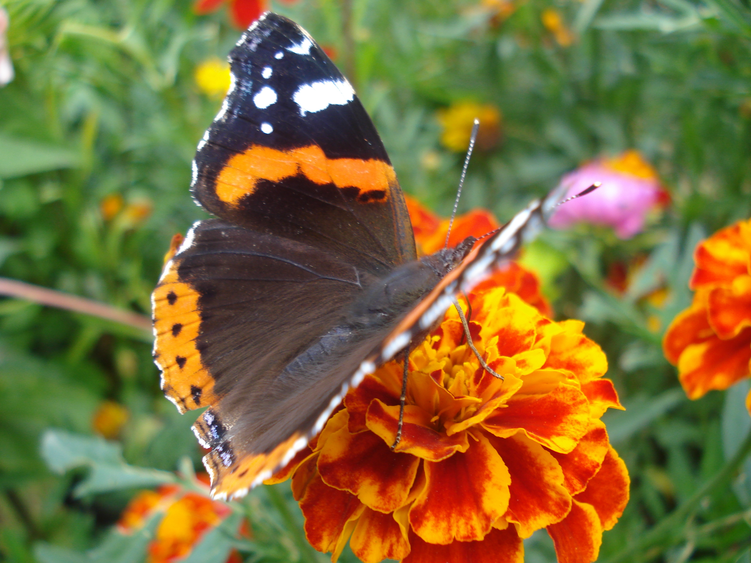 Адмирал бабочек с картинками