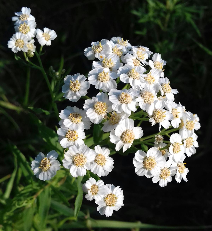 дал себе белый жемчуг цветы фото румпы позволяет увеличить