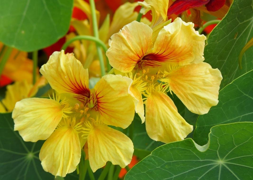 цветы настурция фото махровая наш