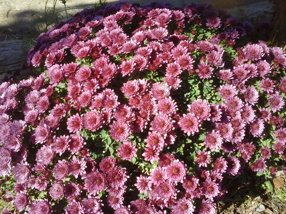 Хризантема низкорослая сорта фото отзывы