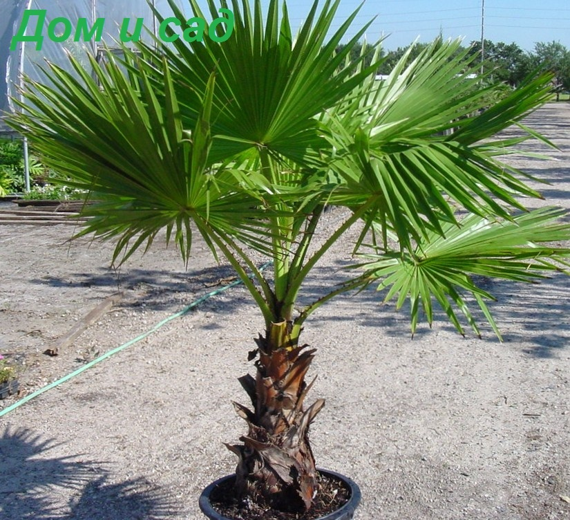 Вашингтония / Washingtonia robusta - За Дома - www.zadoma.com