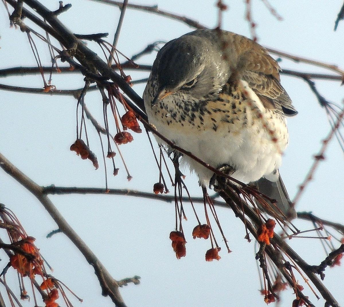бога дрозд фото птицы зимой праздничные