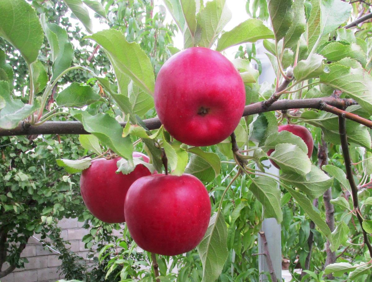 клиенты, картинки сорта яблок джонатан перестарались, лишнюю густоту