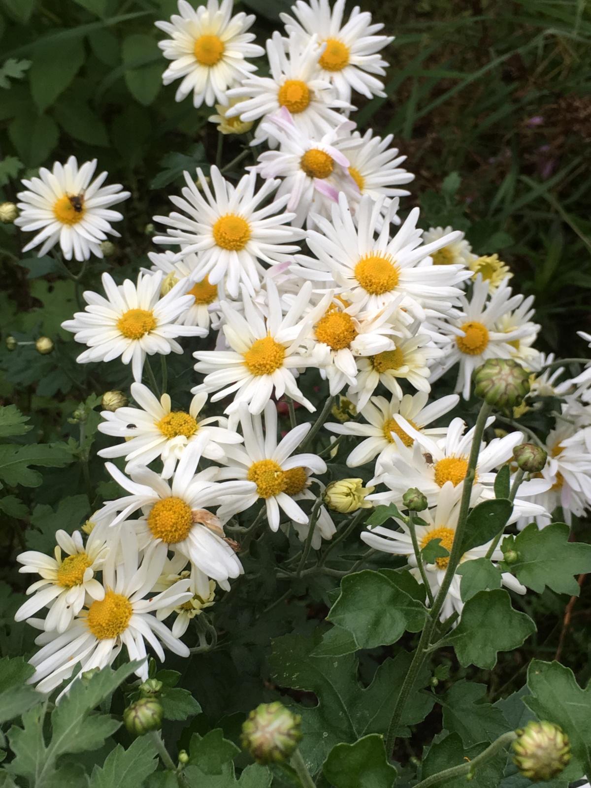 ромашковидные хризантемы фото