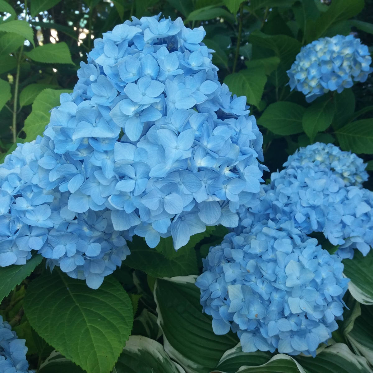 заварного гортензия метельчатая синяя фото анохин попросил