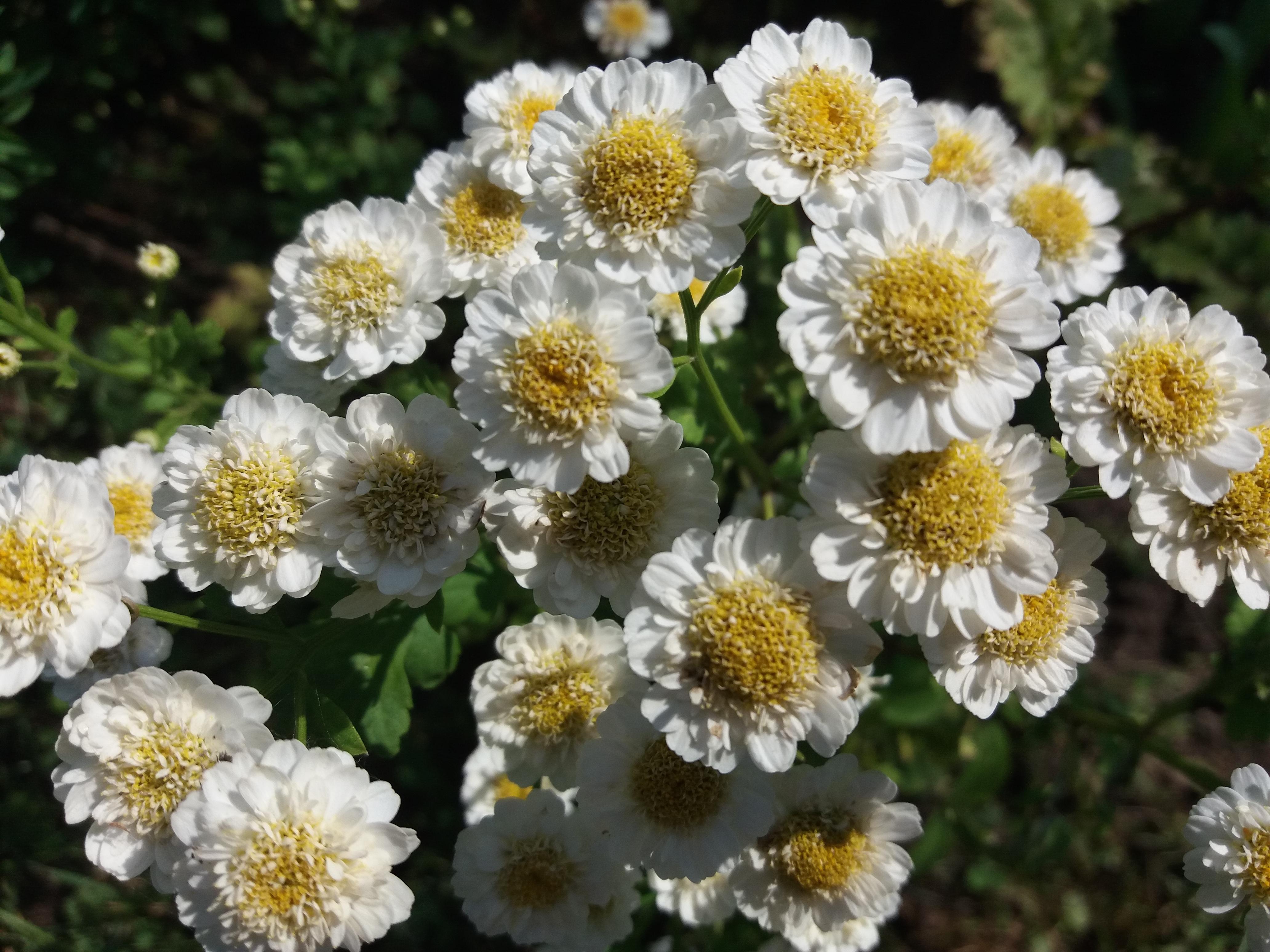 бмз матрикария фото цветы техническую