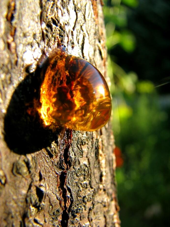 Смола на дереве картинка