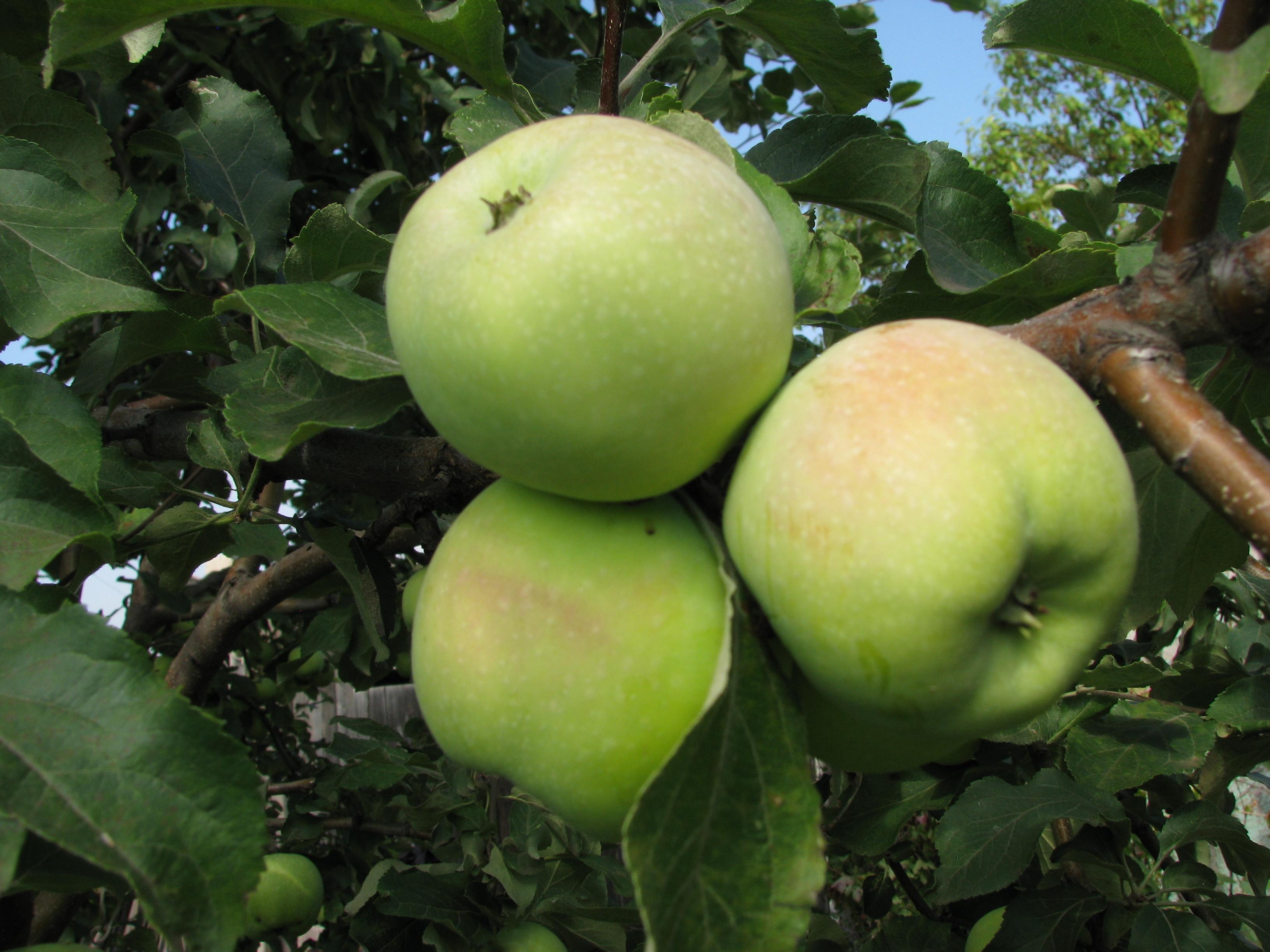 Поздние сорта яблок картинки и названия