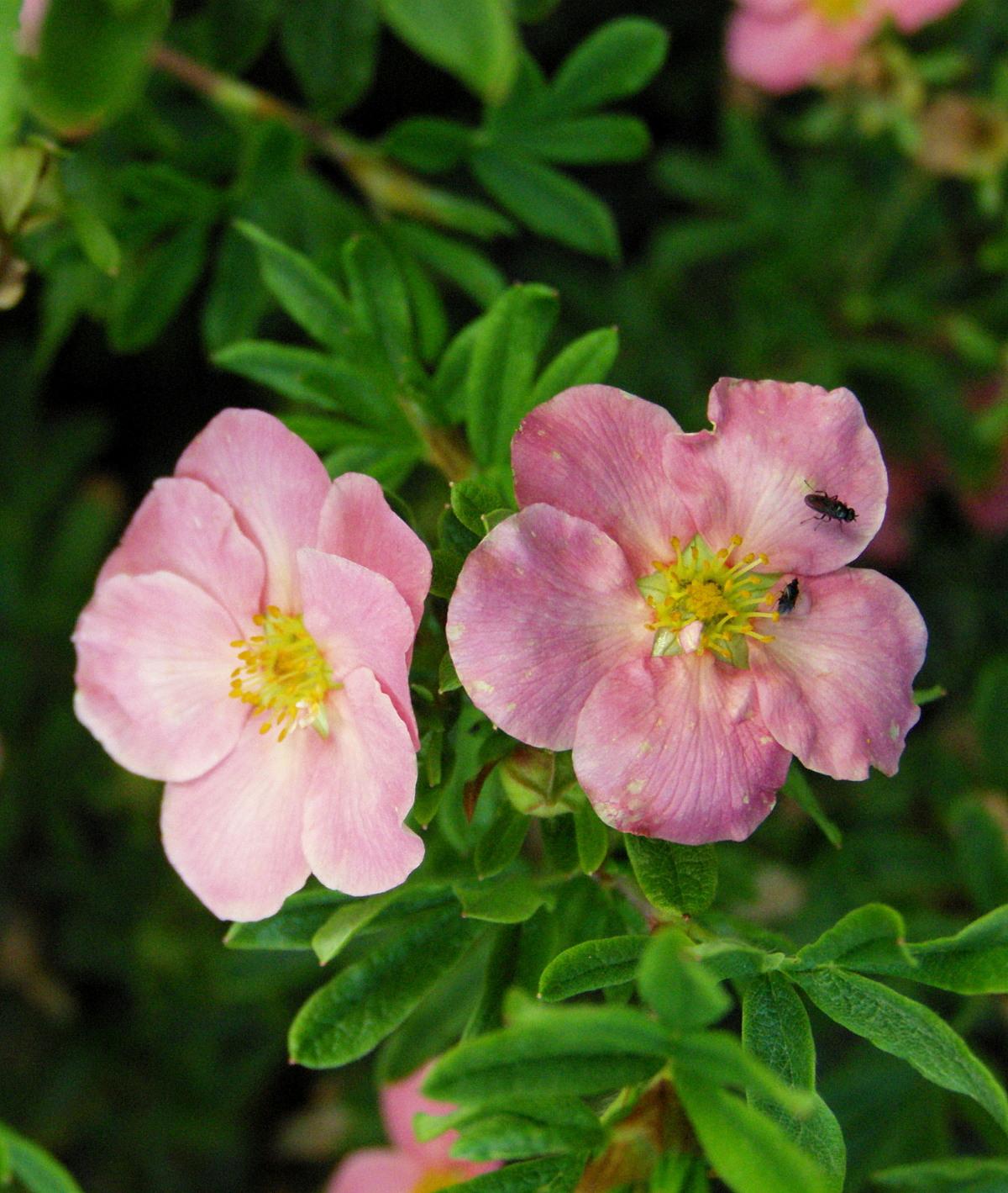 Лапчатка с розовыми цветами фото