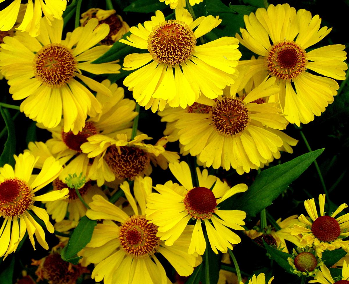 Картинки цветов гелениум