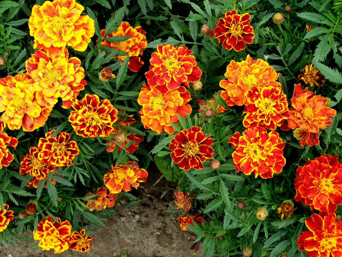 южная лиана с оранжевыми цветами фото