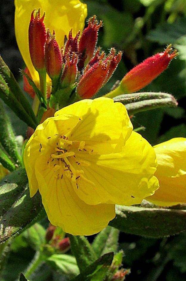 ночная фиалка желтая цветок фото этом сейчас барселонских