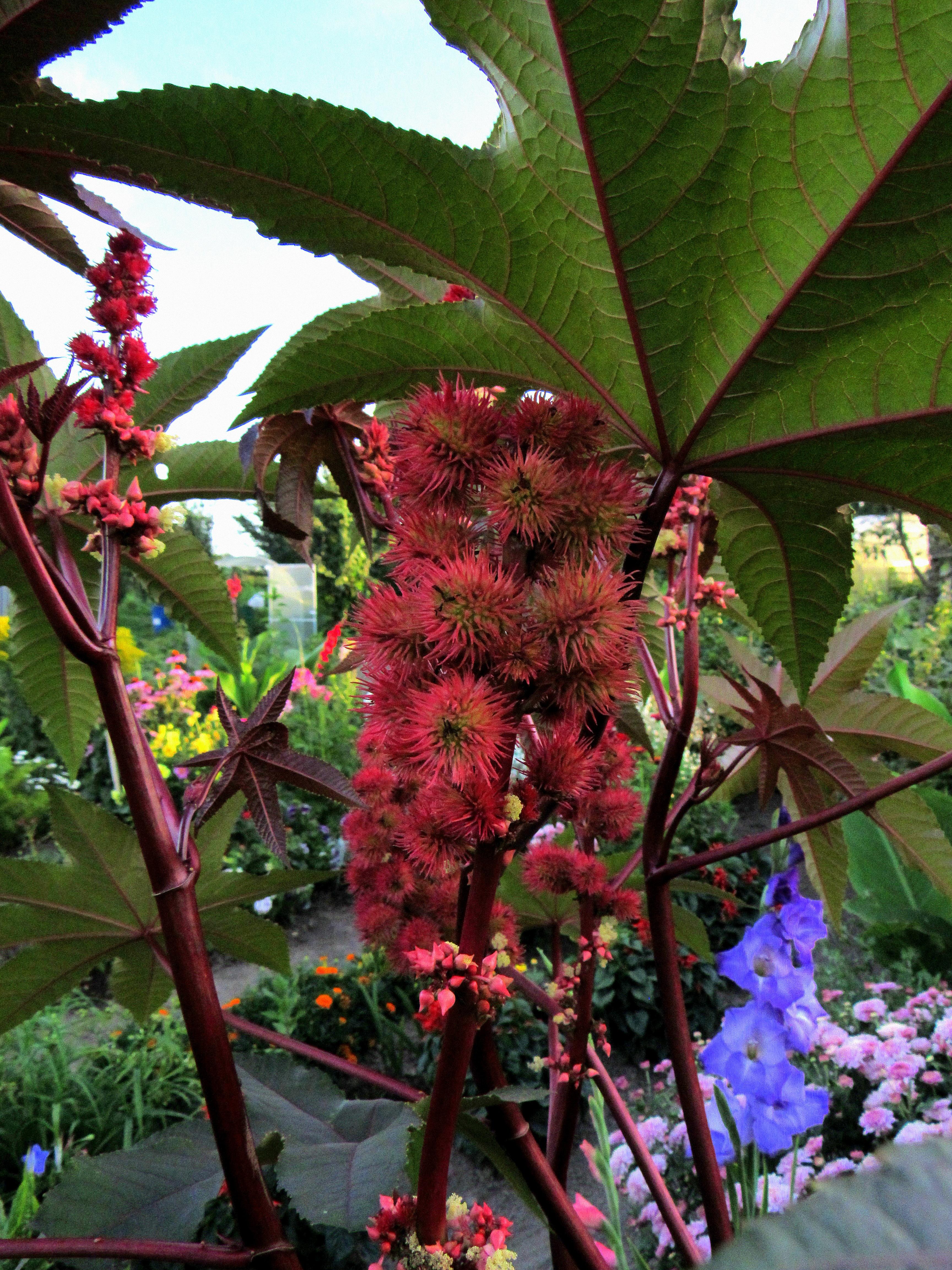 Касторка растение фото