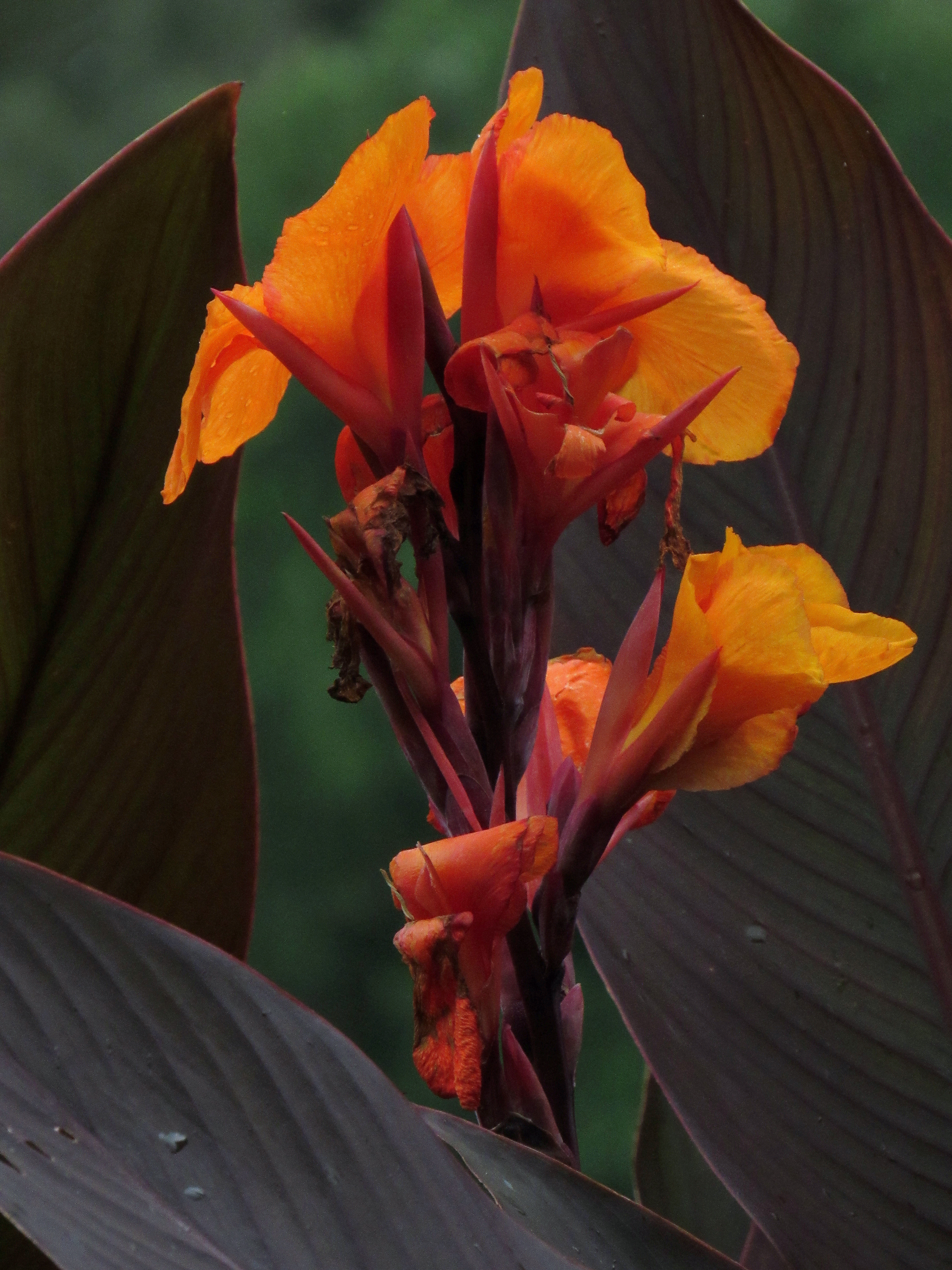 Цветы канны сорта фото исторический
