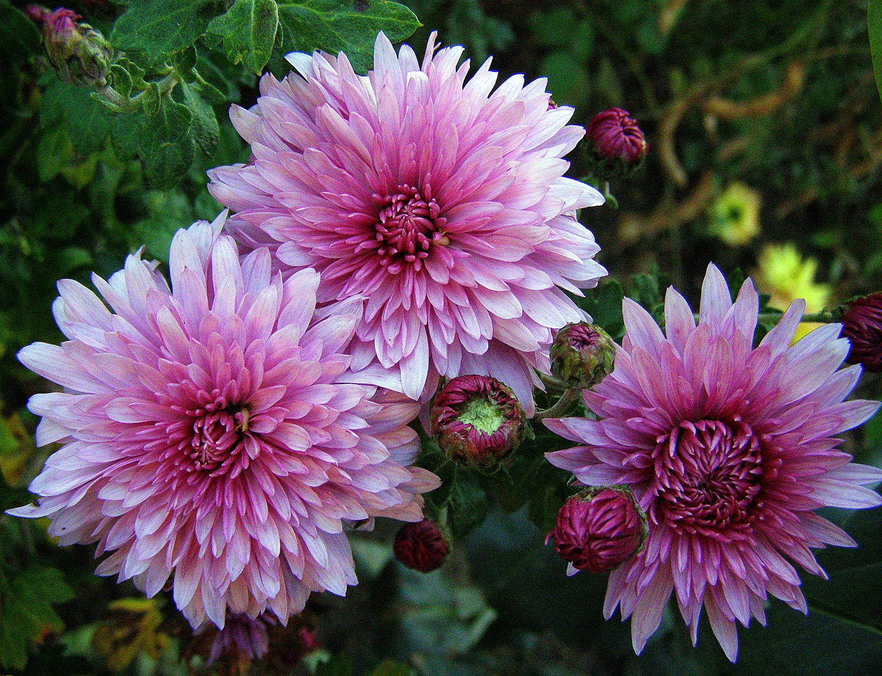 Картинка хризантема фото