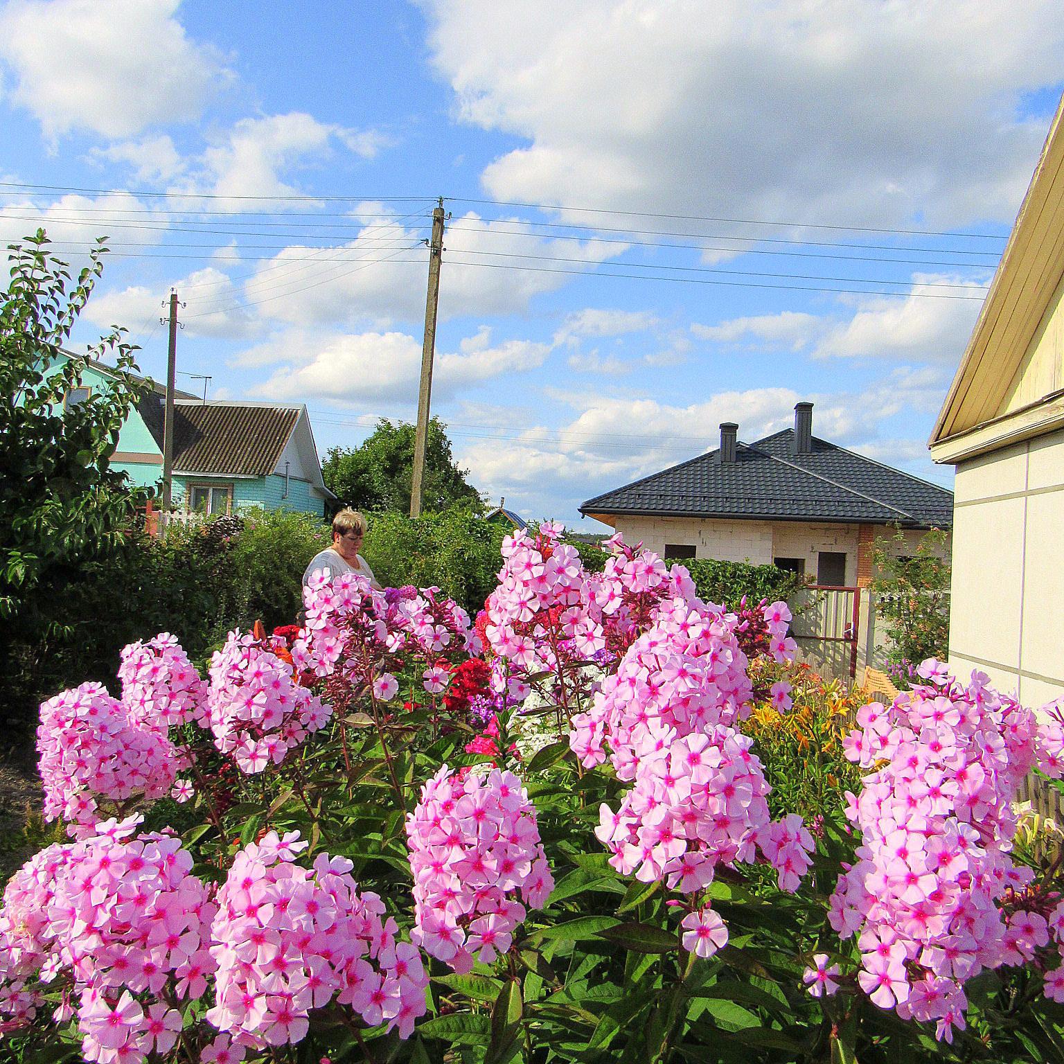 своё время флоксы на даче и в саду фото информацию фонтанке подтвердило