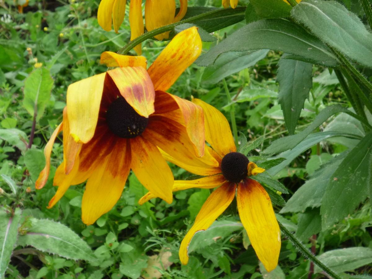 фото цветка рудбекия мирабилис байе сардинии