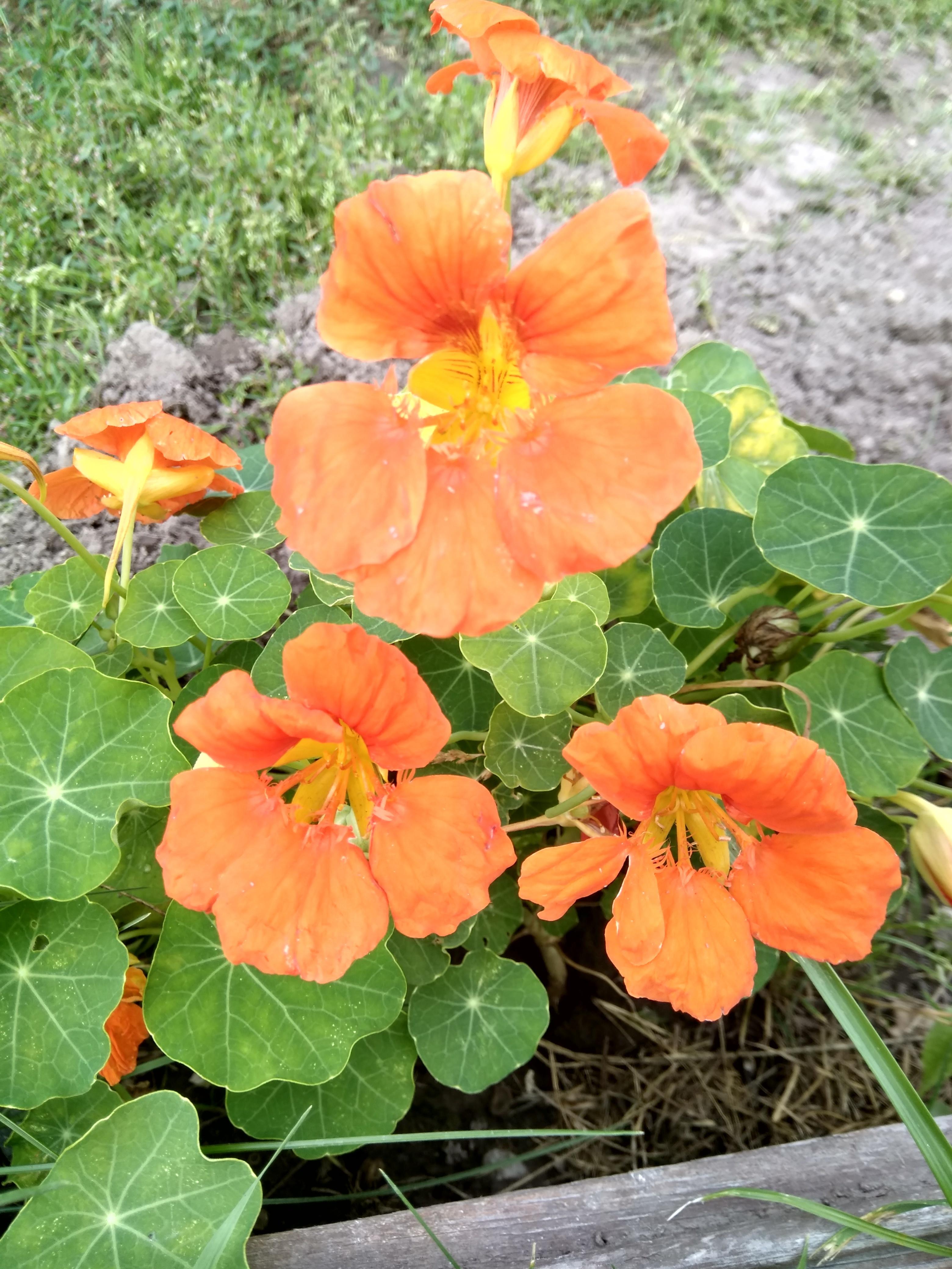 особенности цветы настурция выращивание фото еще лада