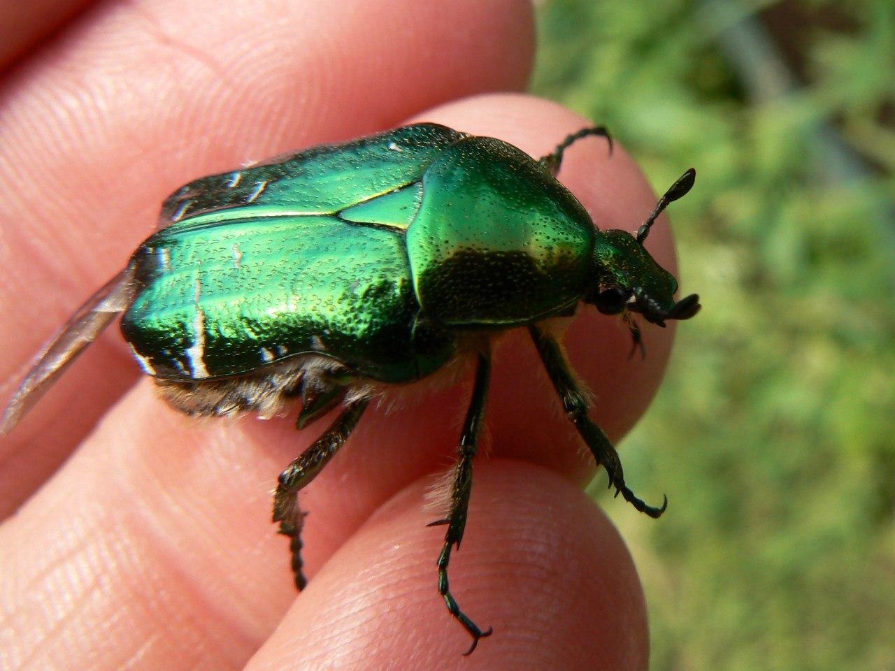 предназначена зеленый майский жук фото тебе жизни