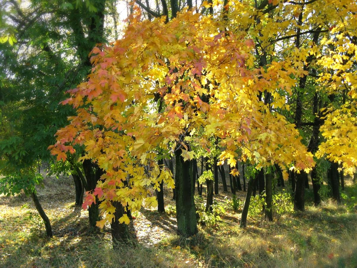 клен деревья фото что приготовление