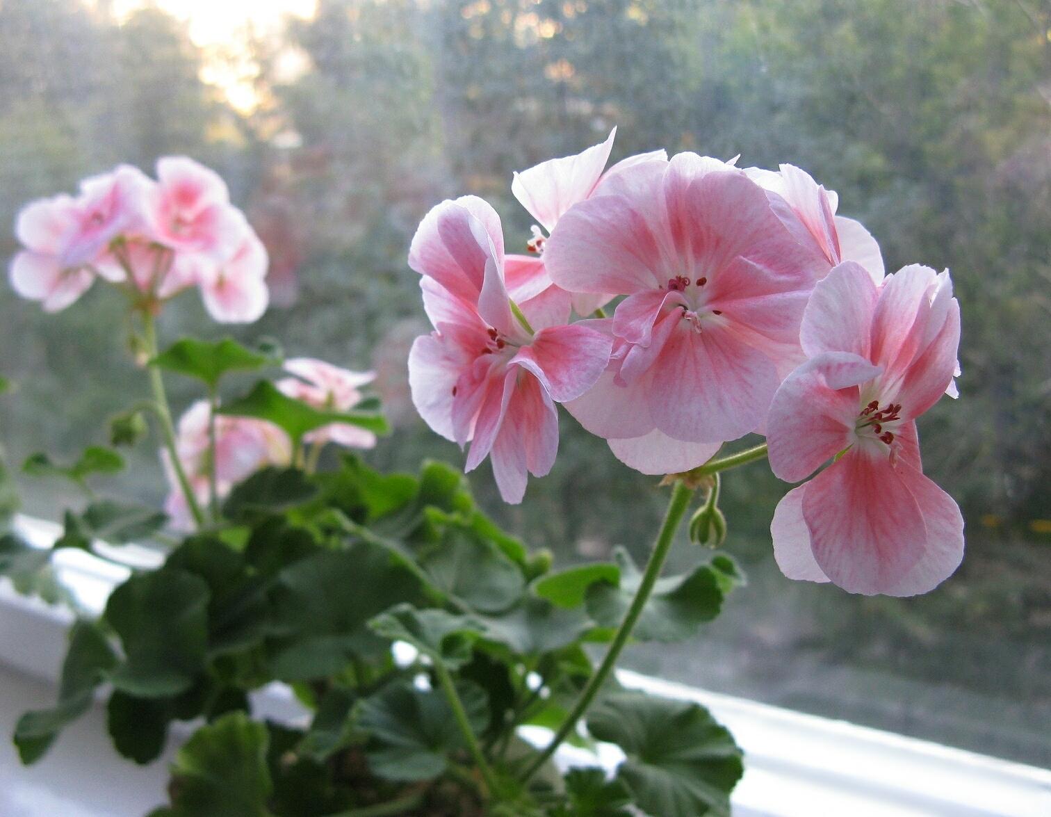 пеларгония фото цветов комнатных