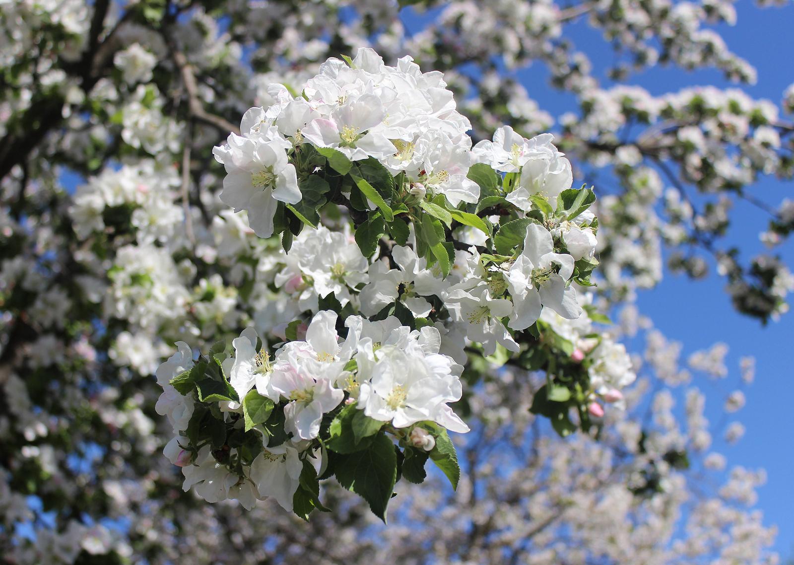 Красивые фото цветущей яблони