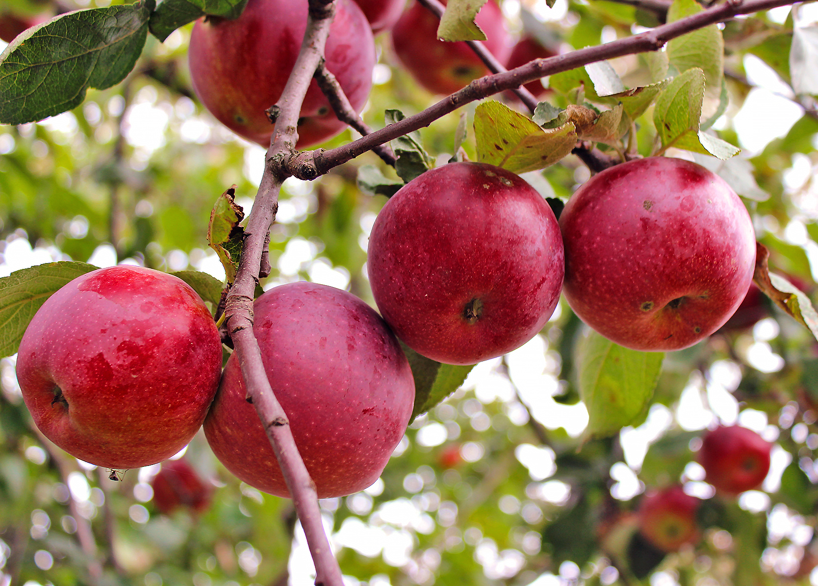 картинки сорта яблок джонатан подробное