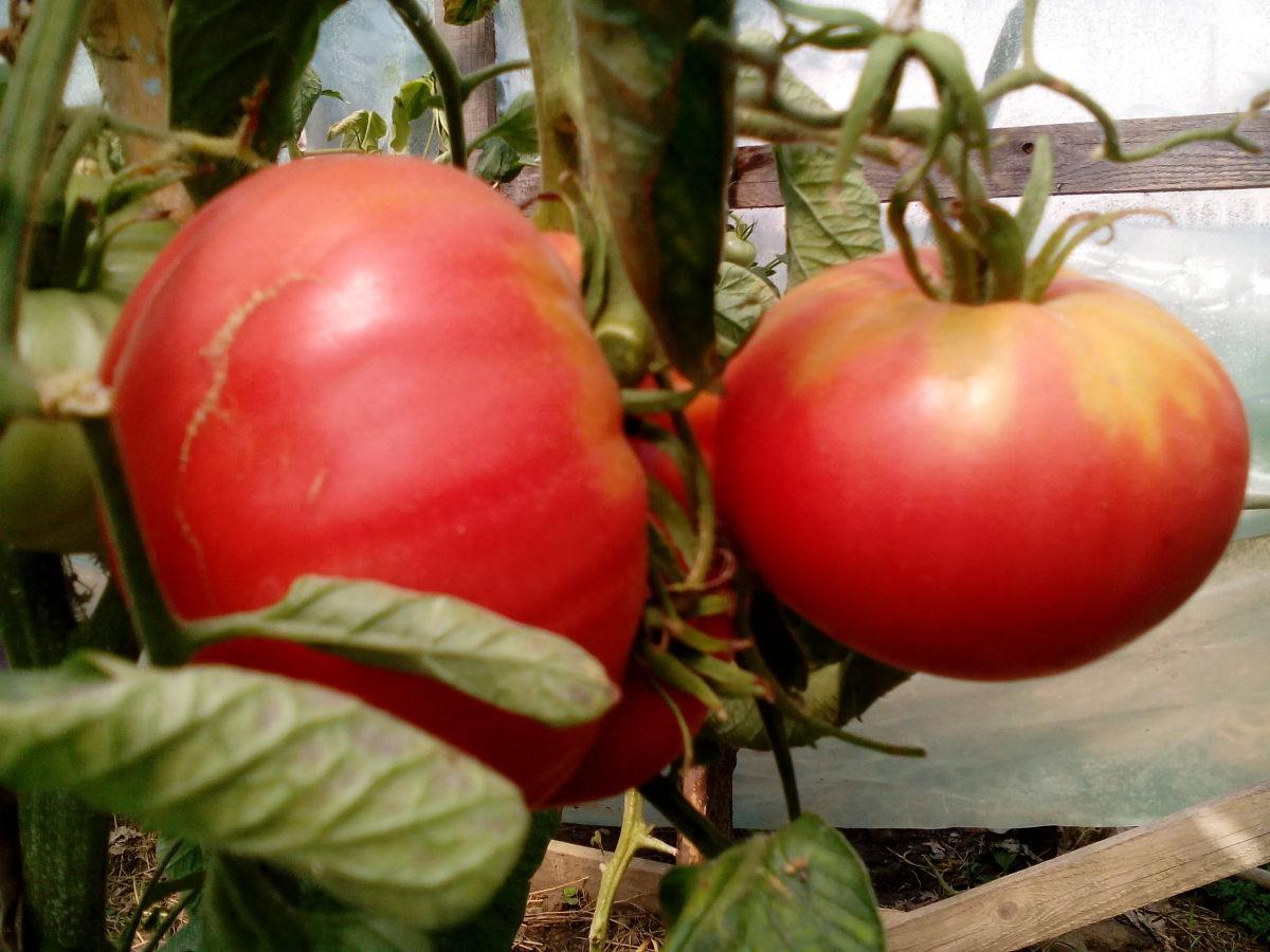 томат малиновый гигант отзывы фото снять