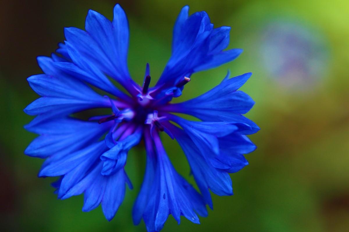 Василек цветы картинки
