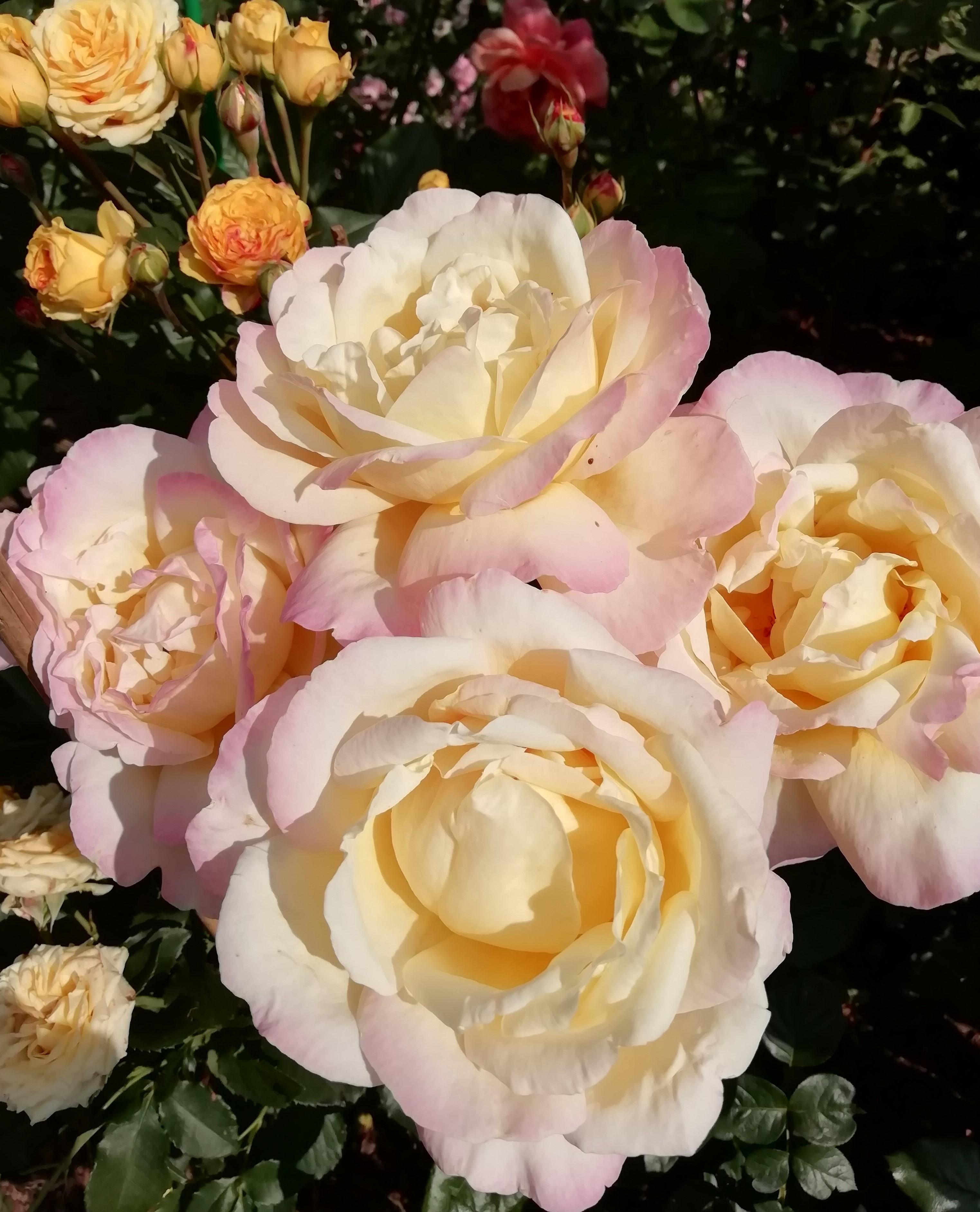 Картинки с розами для глории