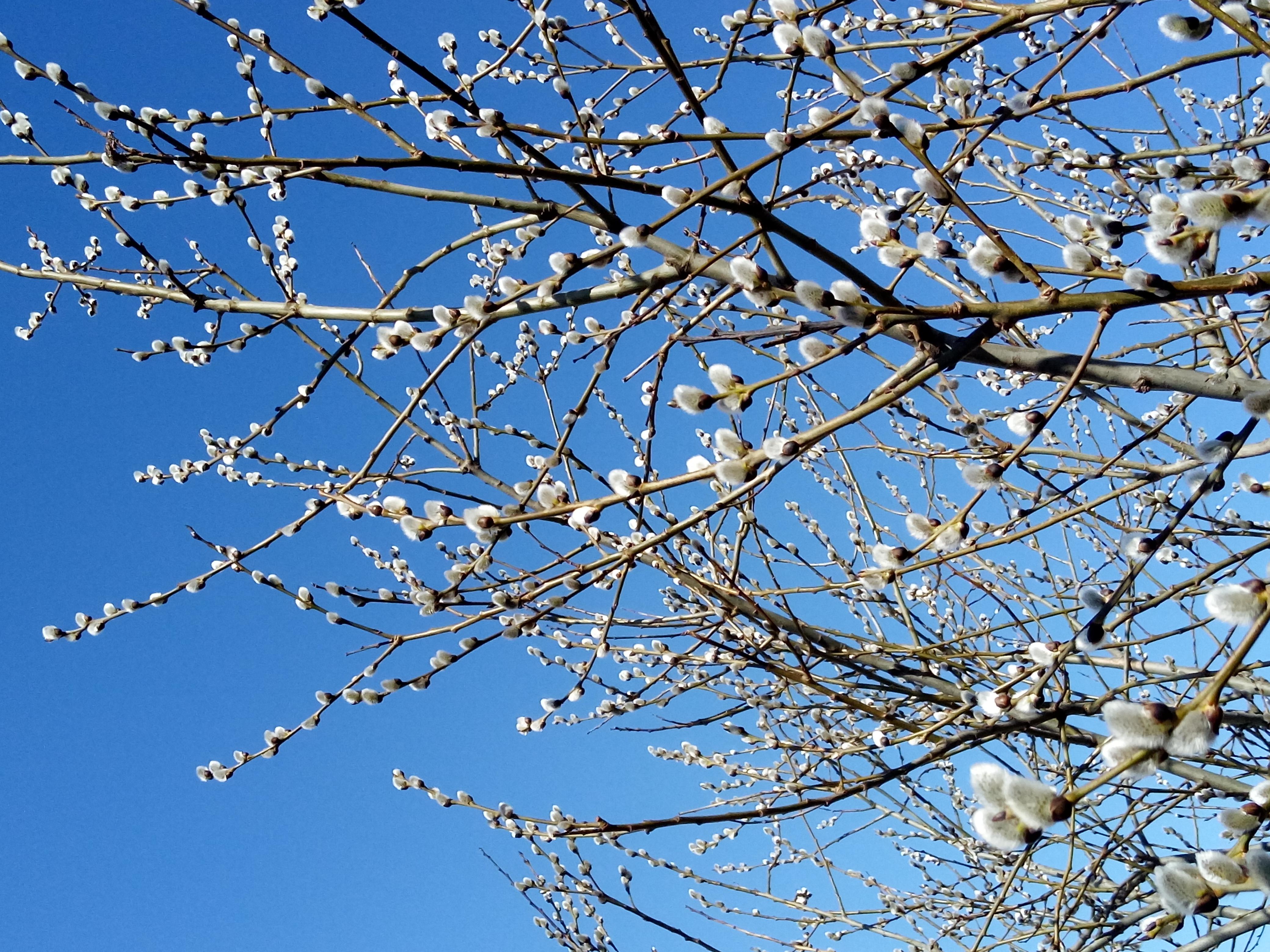 гуляя весна фото природа верба запорные механизмы