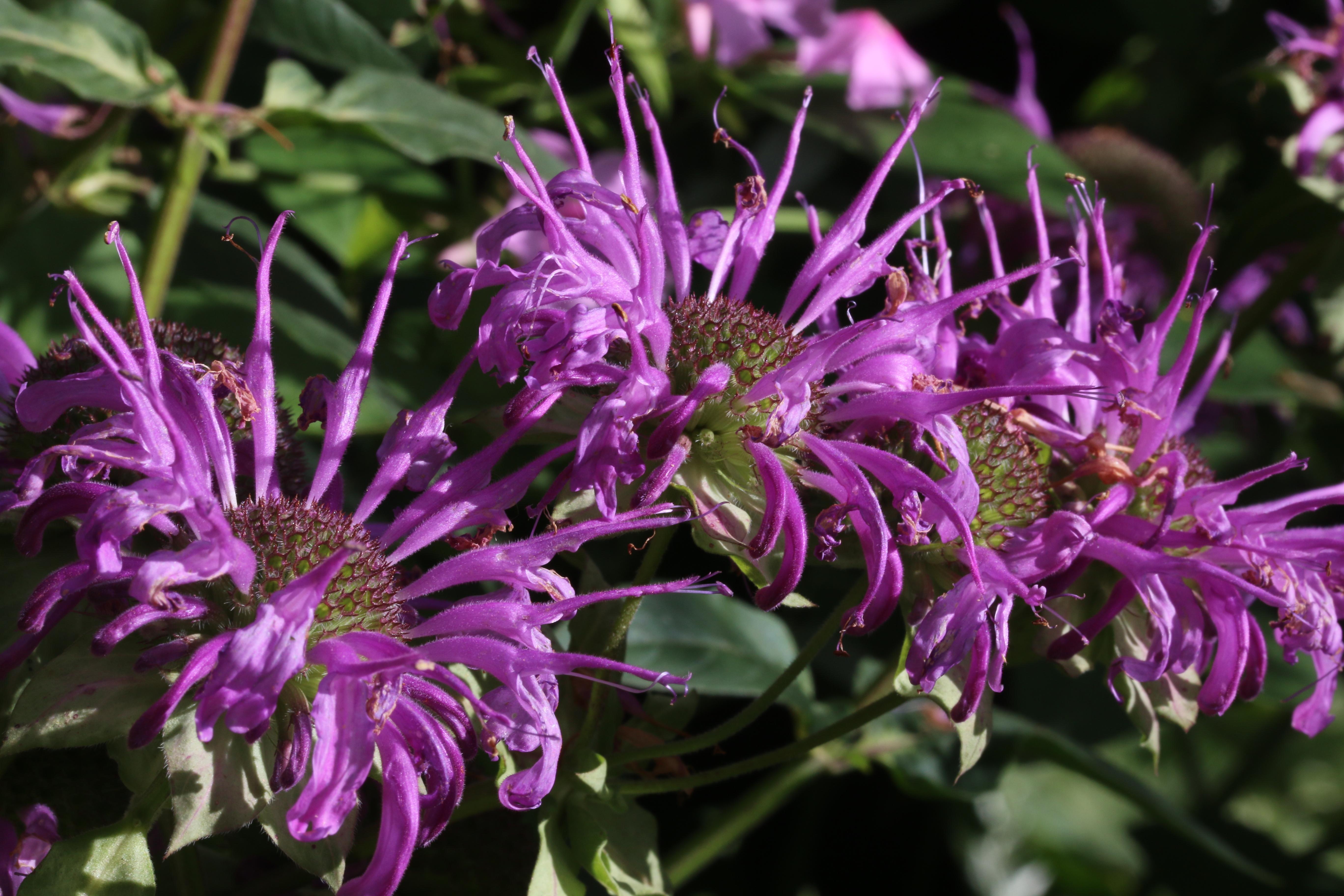цветы бергамота картинки которая сейчас