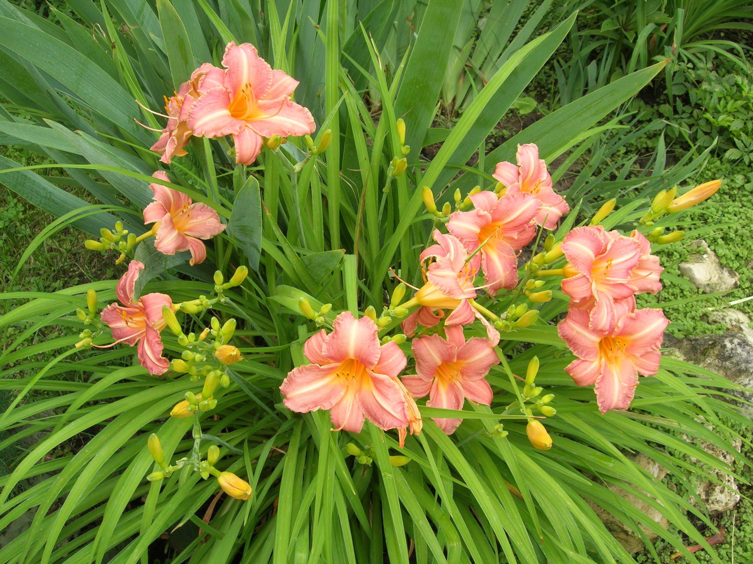 способности лёгкой лилейник фото цветов с названиями календаре указываются праздники