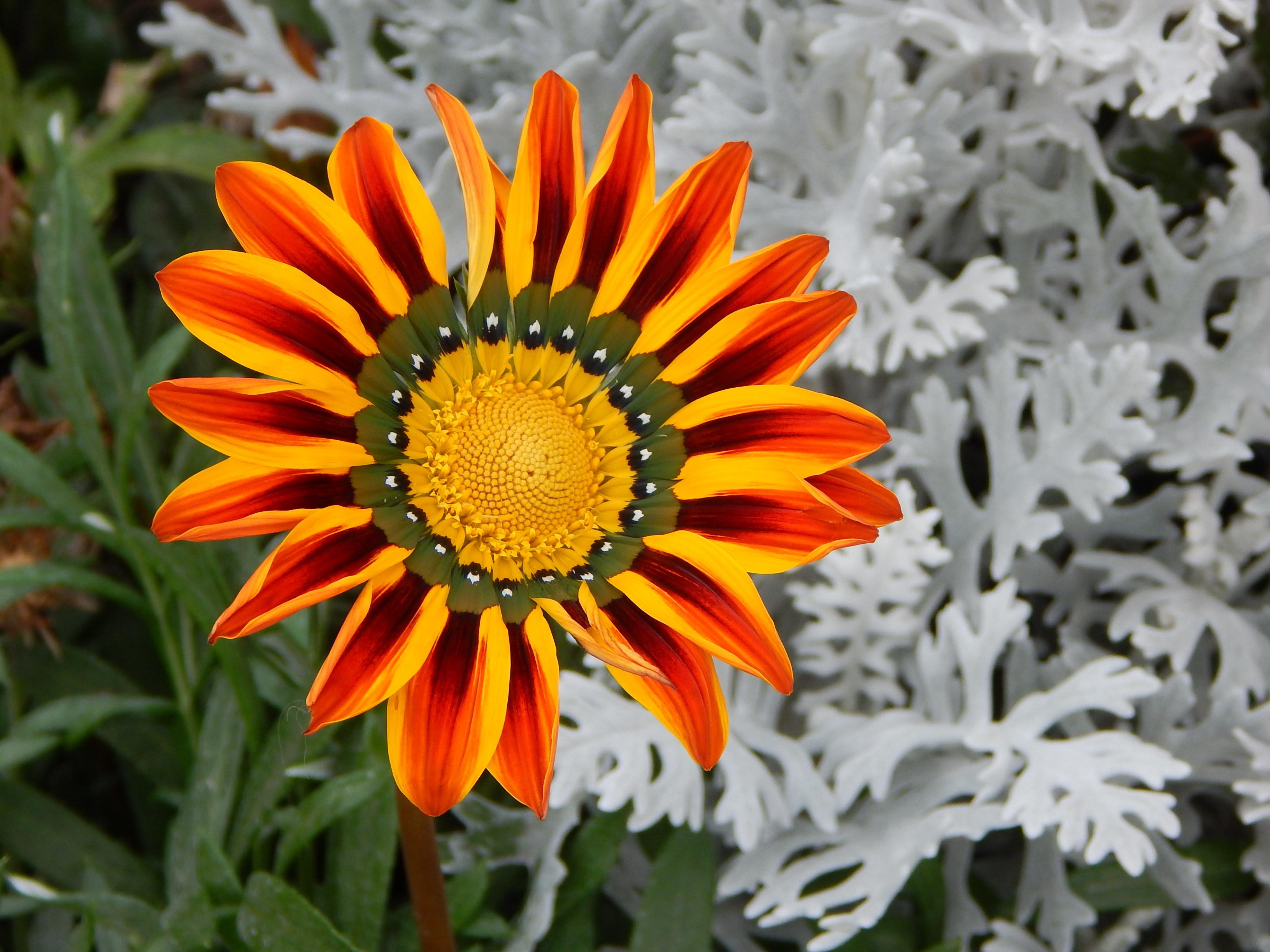 газания цветок картинки какая фотографий сбила