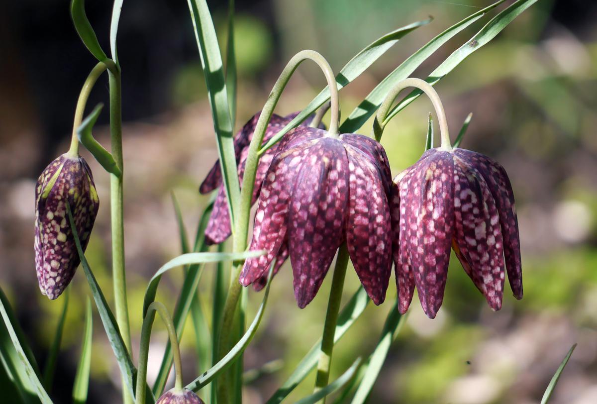рябчики цветы сорта фото для