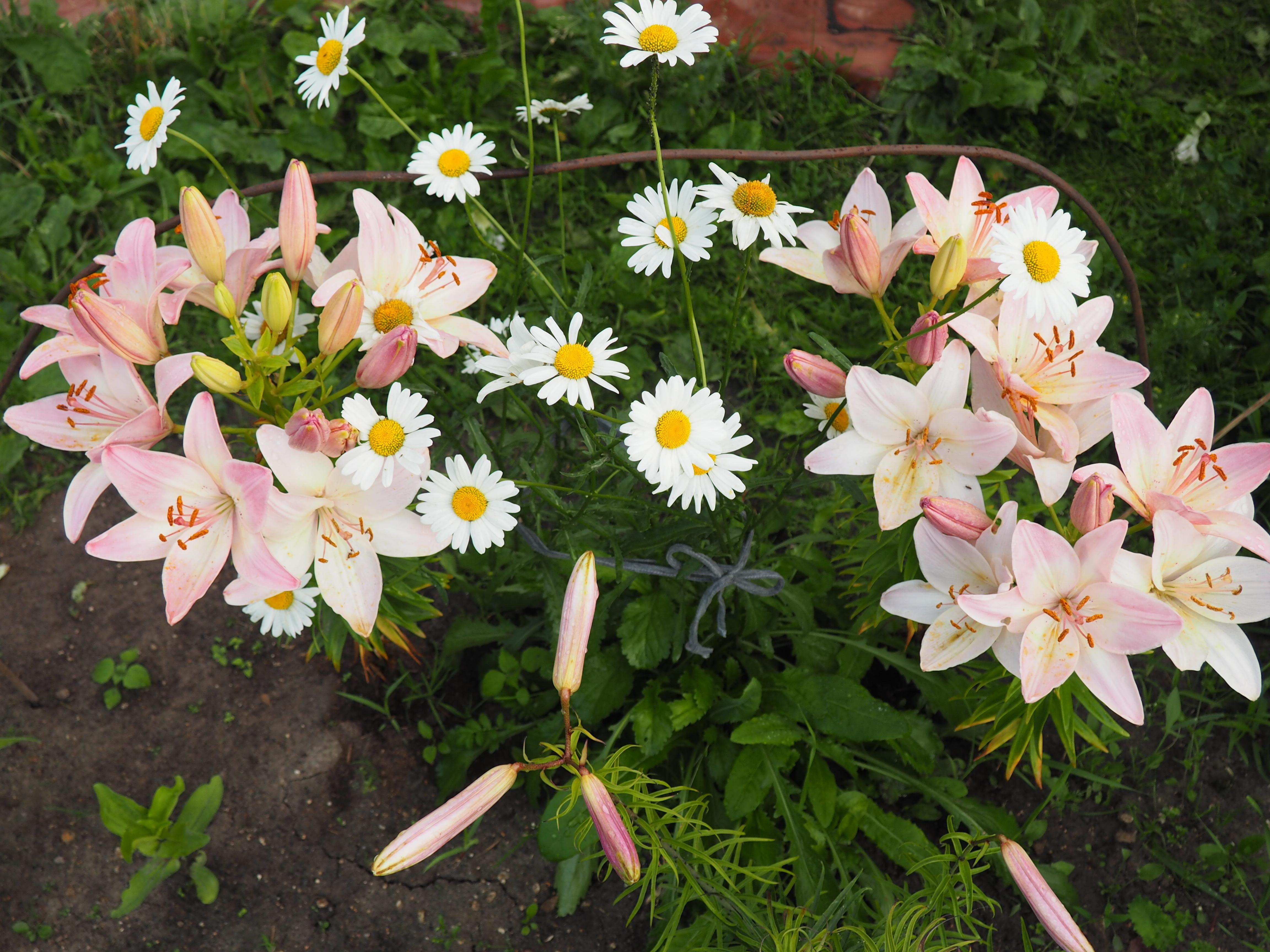 Фотография лилии цветы фото ромашки