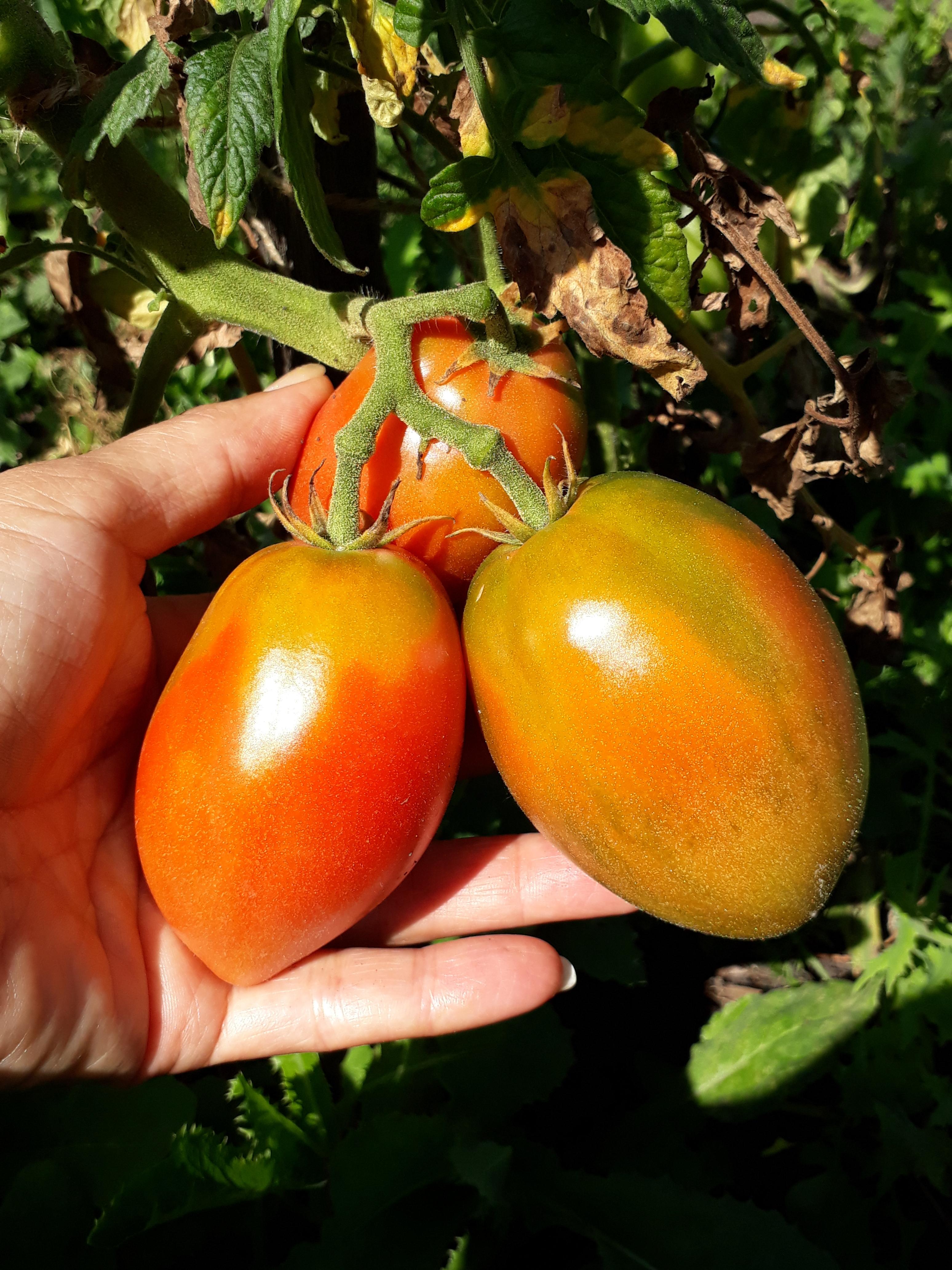томат петруша огородник фото куста очень