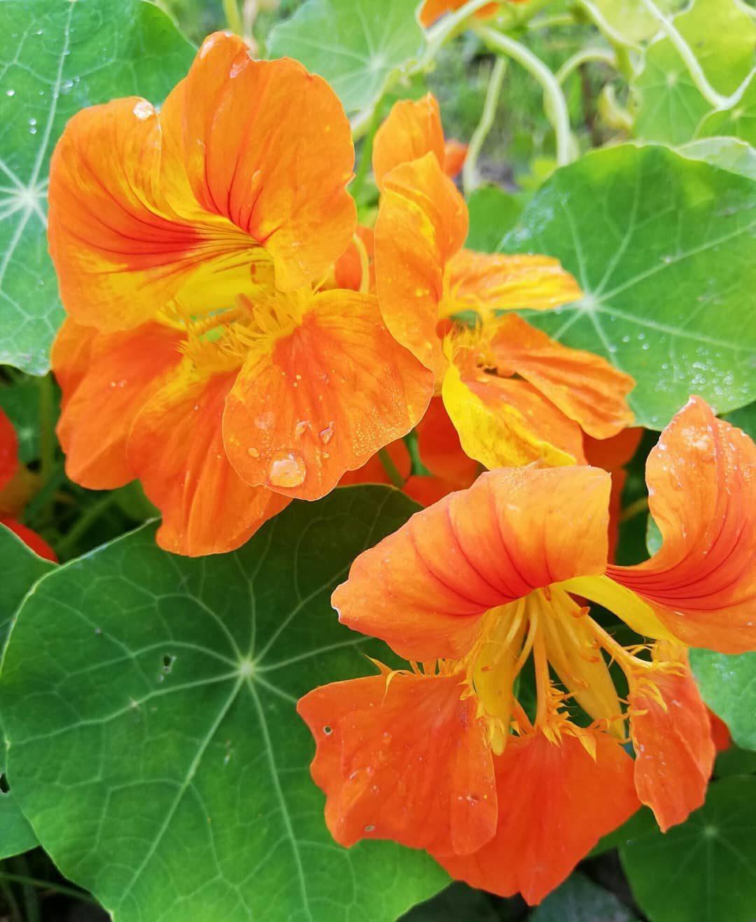 Фото цветов календулы ириса настурции